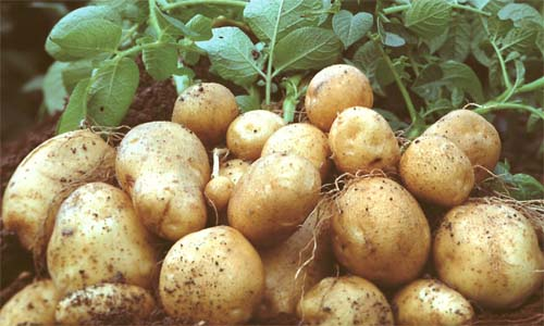 «Les semences et les pommes de consommation rapportent»
