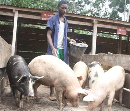 Soigner les maladies du Porc